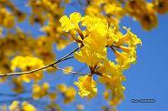 イペーアマレーロ(黄イペー)の花 03