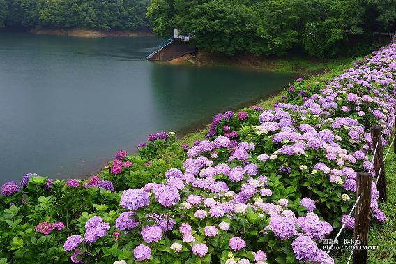 宮崎県国富町籾木池の紫陽花(あじさい) 03