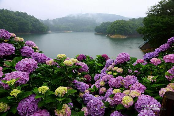 宮崎県国富町籾木池の紫陽花(あじさい) 04