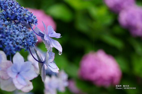 宮崎県国富町籾木池の紫陽花(あじさい) 11
