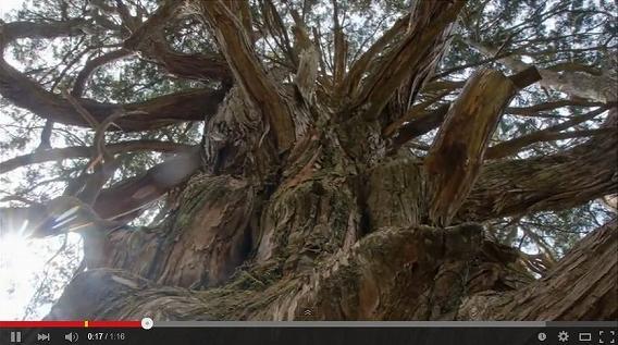 大久保のヒノキ (Youtubeキャプチャ)
