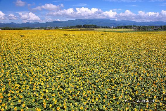 「日本のひなた宮崎県」フォトコン応募 どこまでもひまわり