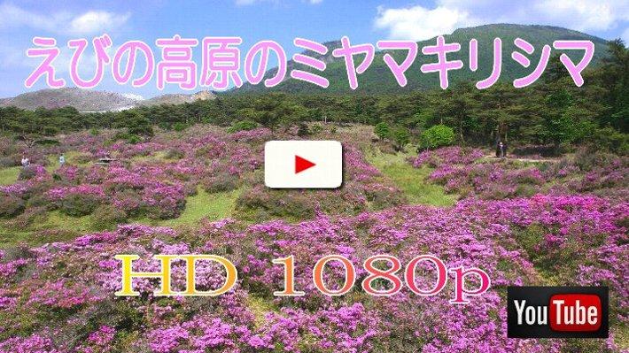 ミヤマキリシマの画像 p1_10