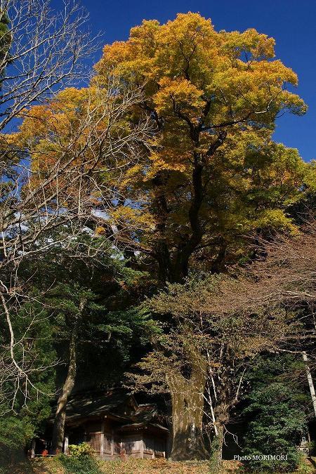 下野八幡神社のケヤキ(国指定)
