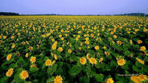 日本最大のひまわり畑 1100万本