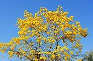 イペーアマレーロ(黄イペー)の花 02