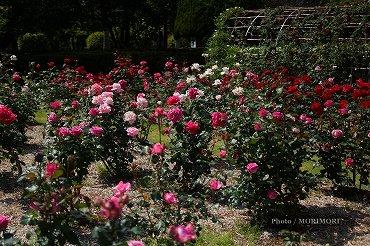 宮崎県総合運動公園 バラ園のバラ 01
