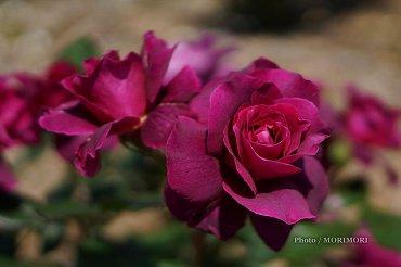 宮崎県総合運動公園 バラ園のバラ 2