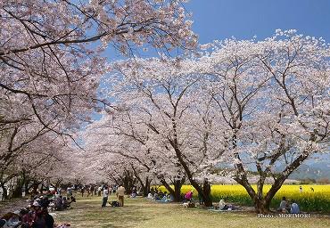 西都原 桜