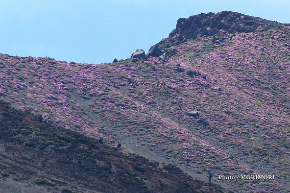 霧島 鹿の原(鹿ヶ原) から見たお鉢斜面のミヤマキリシマ