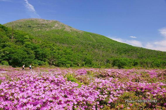 霧島 鹿の原(鹿ヶ原) ミヤマキリシマ群落 04