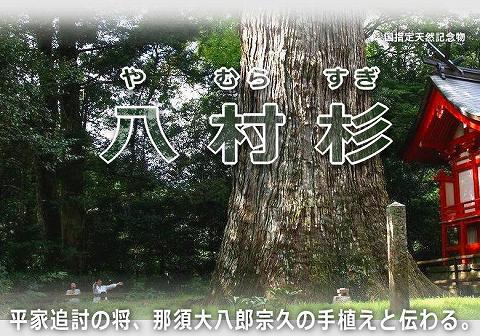 八村杉(やむら杉)