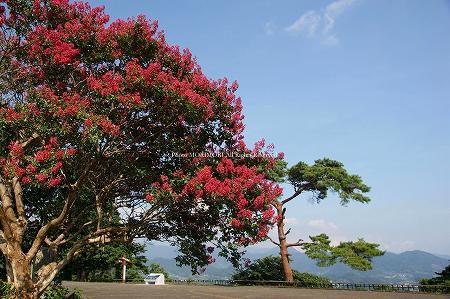 高千穂・国見ヶ丘のサルスベリ(百日紅)の花の写真 01