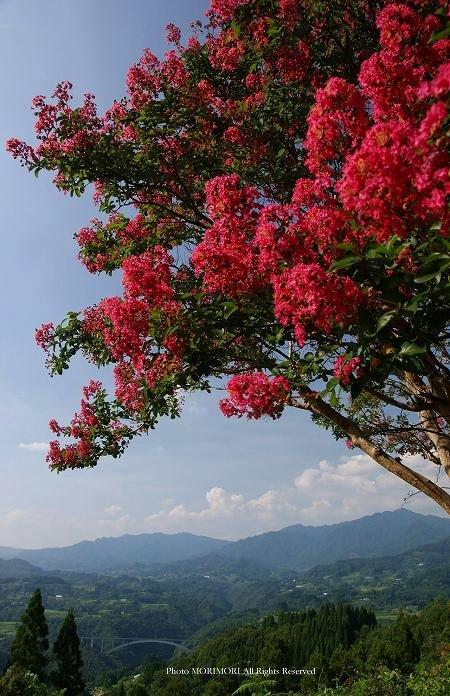 高千穂・国見ヶ丘のサルスベリ(百日紅)の花の写真 02