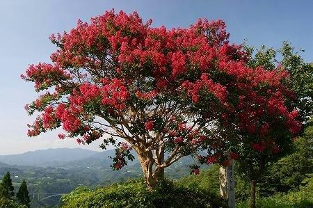 高千穂・国見ヶ丘のサルスベリ(百日紅)の花の写真 03