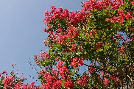 高千穂・国見ヶ丘のサルスベリ(百日紅)の花の写真 04