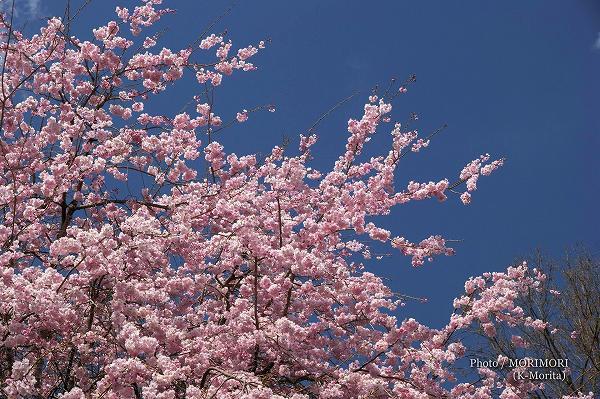 天岩戸温泉の桜(高千穂町)